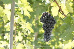 vineyard-57